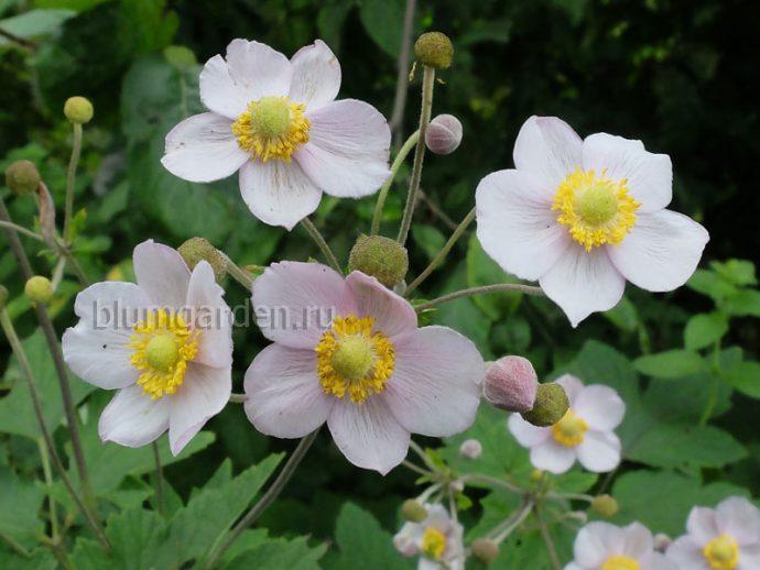 Анемона японская осенняя (Anemone japonica) © blumgarden.ru