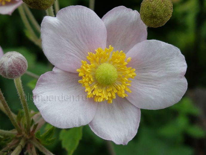 Анемона японская розовая (Anemone japonica) © blumgarden.ru