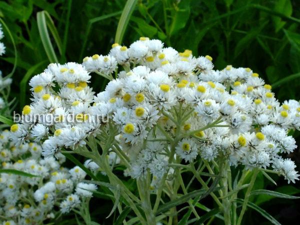 Анафалис жемчужный (Anaphalis margaritacea) © blumgarden.ru