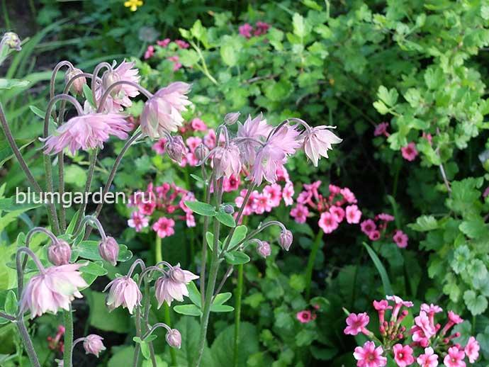 Аквилегия Пинк Барлоу и примула японская в саду © blumgarden.ru