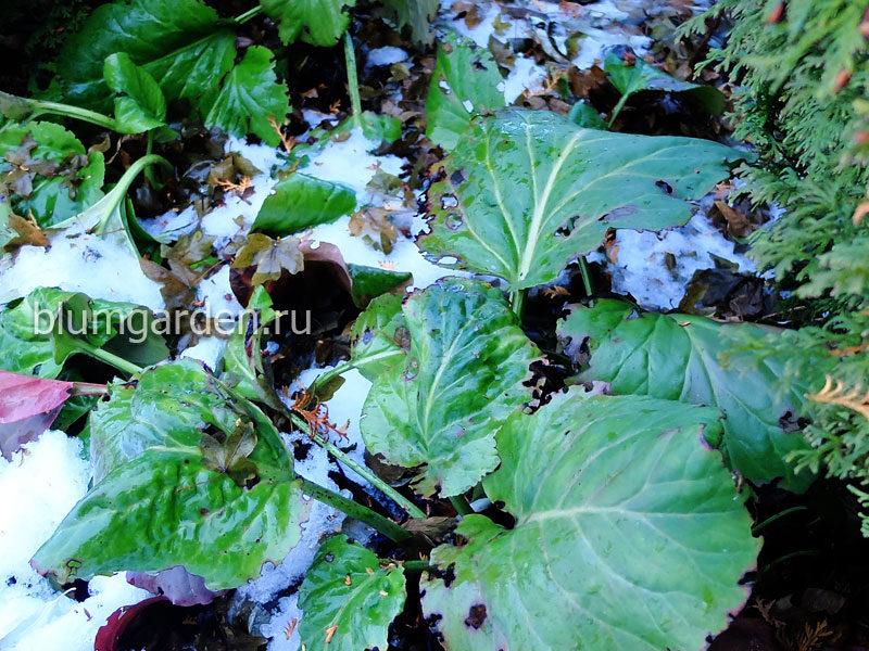 Бадан ранней весной (Подкормка растений весной по талому снегу) © blumgarden.ru