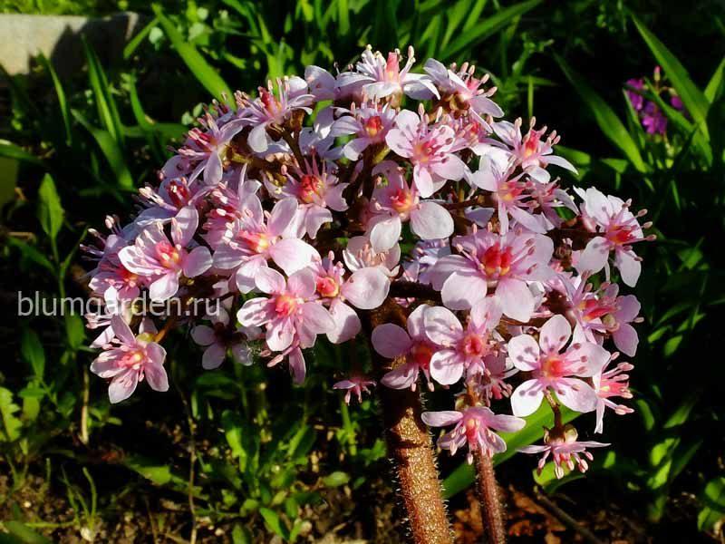 Дармера щитовидная, или пельтифиллум (Peltiphyllum) © blumgarden.ru