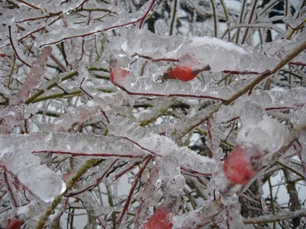 Ледяной дождь в декабре © Blumgarden.ru