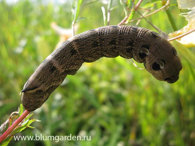 Гусеница винного бражника © blumgarden.ru