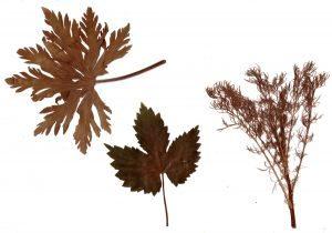 Гербарий из засушенных растений