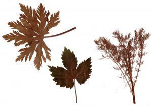 Гербарий из засушенных растений © Blumgarden.ru