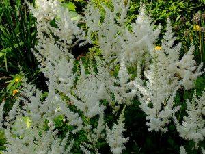 Астильба Арендса белая (Astilbe Arendsii White)