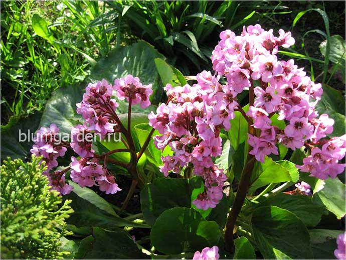 Бадан толстолистный (Bergenia Crassifolia)