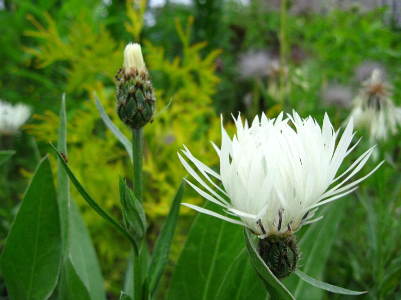 Василек белый горный (Centaurea Montana)