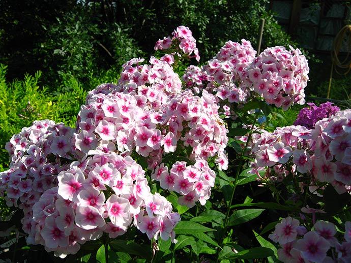 Цветок садовый флокс розовый Румяный © blumgarden.ru