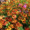 Гелениум осенний Moerheim Beauty (Моерхейм Бьюти) © blumgarden.ru