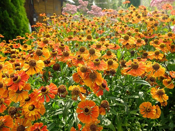 Гелениум оранжевый Моерхейм Бьюти © blumgarden.ru