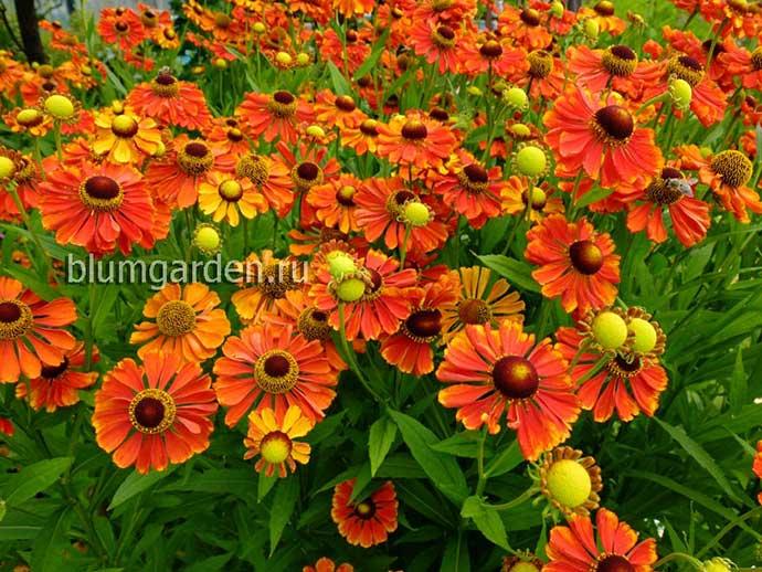 Гелениум осенний «Моерхейм Бьюти» (Helenium Autumnale Moerheim Beauty)