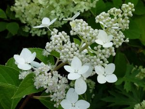 Гортензия метельчатая Киушу (Hydrangea Paniculata Kyushu)