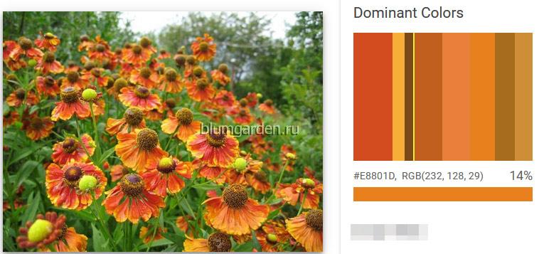 Гелениум доминантные цвета © blumgarden.ru