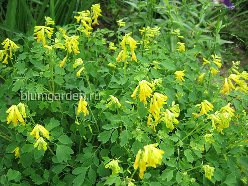 Хохлатка желтая (Corydalis Lutea)