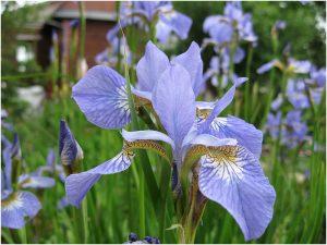 Ирис сибирский голубой (Iris Sibirica Blue)