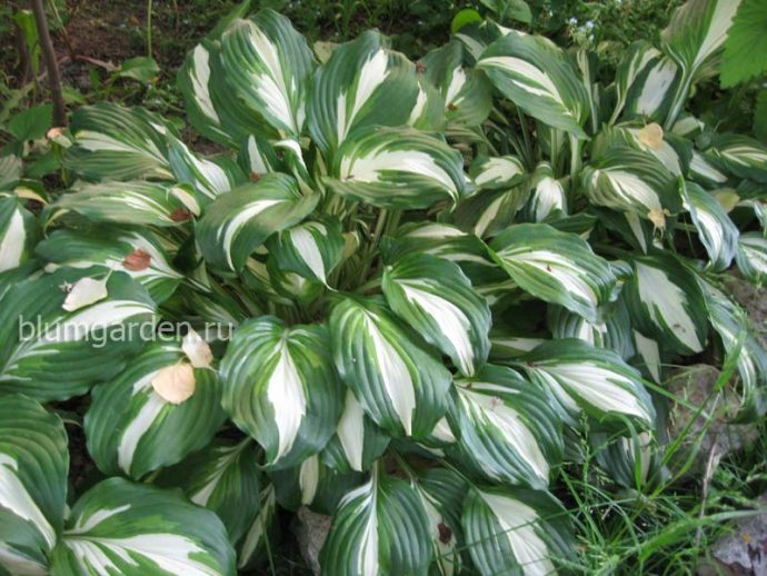 Хоста волнистая унивитата (Undulata Univittata)