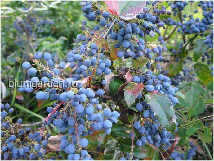 Магония падуболистная - плоды © blumgarden.ru