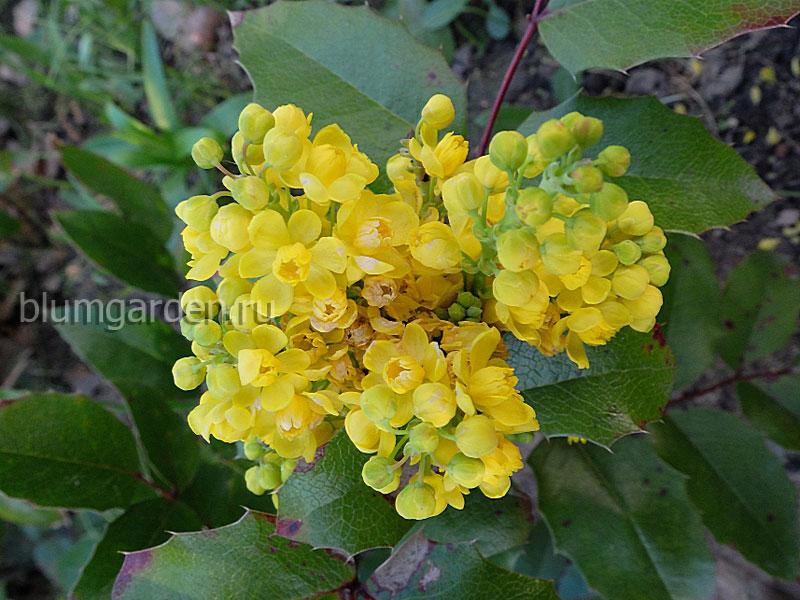 Магония падуболистная цветы © blumgarden.ru