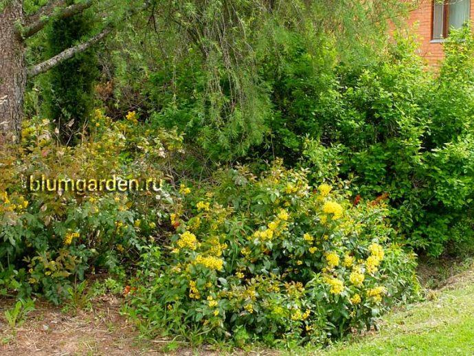 Магония падуболистная в саду © blumgarden.ru