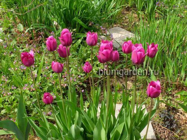 Медуница сахарная и тюльпаны в ландшафтном саду © blumgarden.ru