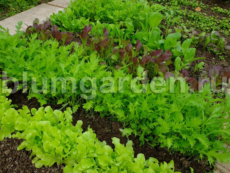 Зеленные культуры © blumgarden.ru