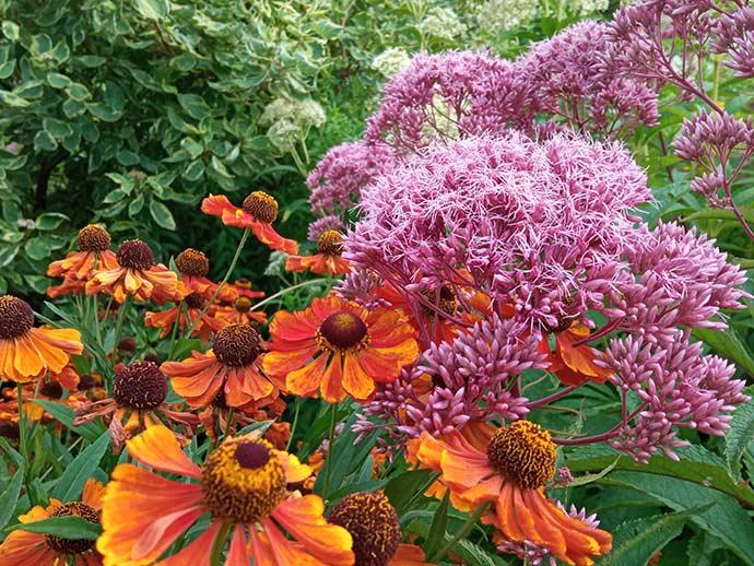 Посконник пурпурный и гелениум осенний Моерхейм Бьюти в саду © blumgarden.ru