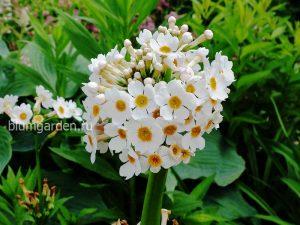 Примула японская белая (Primula Japonica)