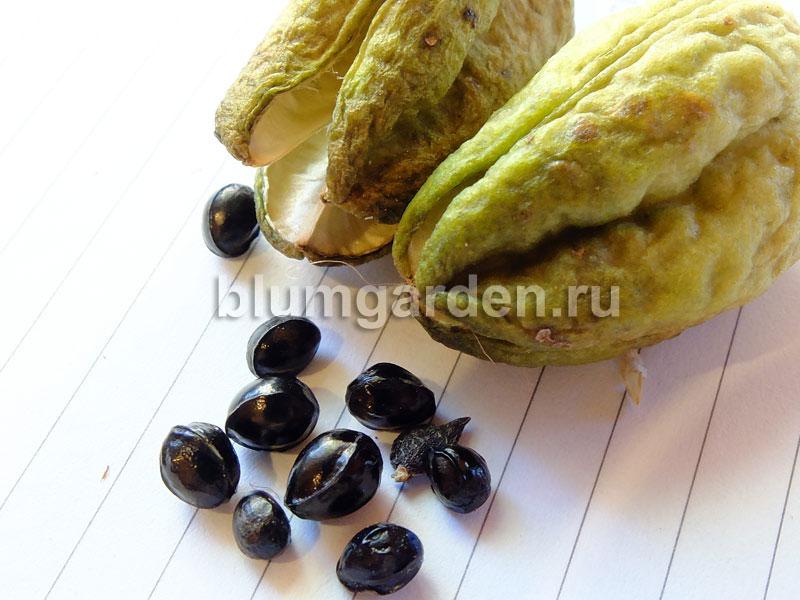 Семена лилейника © blumgarden.ru