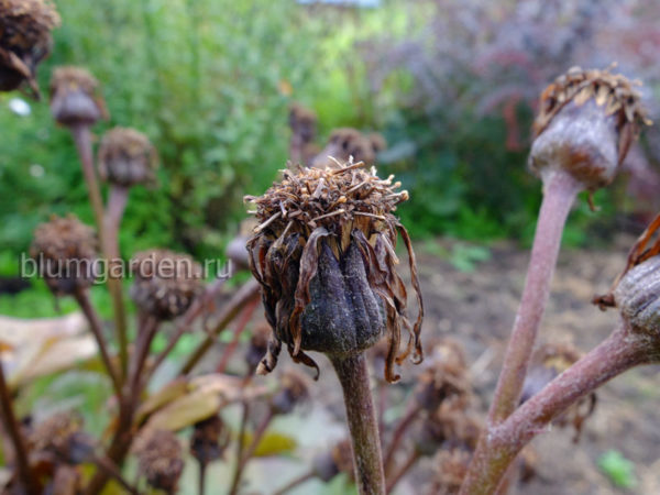 Семена бузульника Отелло © blumgarden.ru