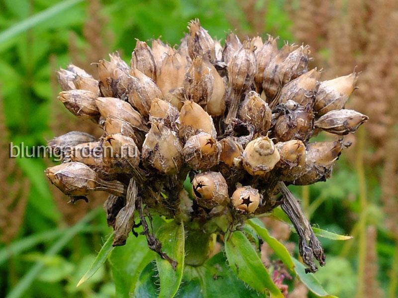 Семена лихниса халцедонского © blumgarden.ru