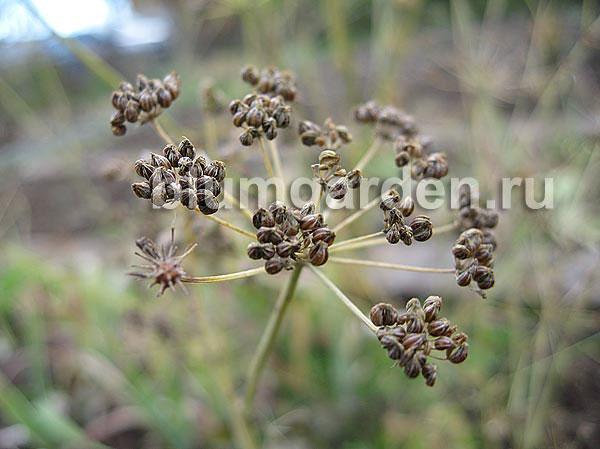 Семена петрушки © blumgarden.ru