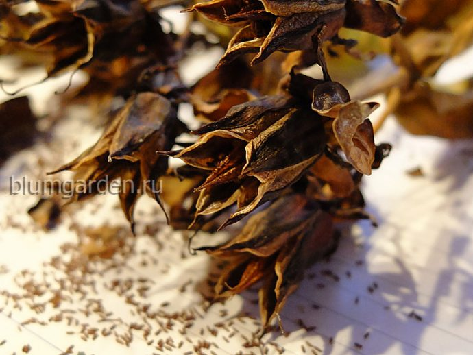 Семена зверобоя большого © blumgarden.ru
