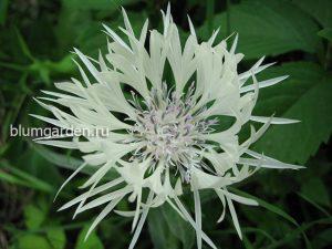 Василек белый горный (Centaurea Montana Alba)
