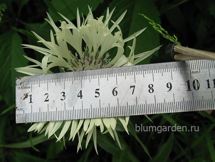 Василек белый горный (Centaurea montana Alba) - размер цветка © blumgarden.ru