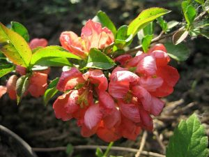 Айва японская с розовыми цветками © blumgarden.ru