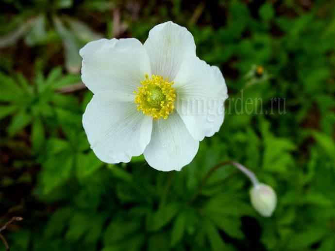 Анемона весенняя (Anemone sylvestris) © blumgarden.ru