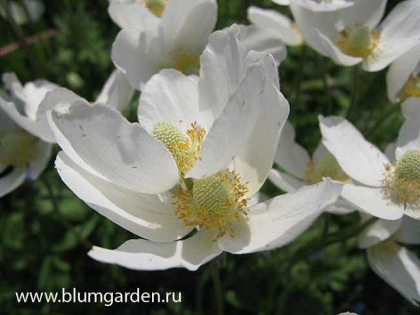 Anemone sylvestris © blumgarden.ru