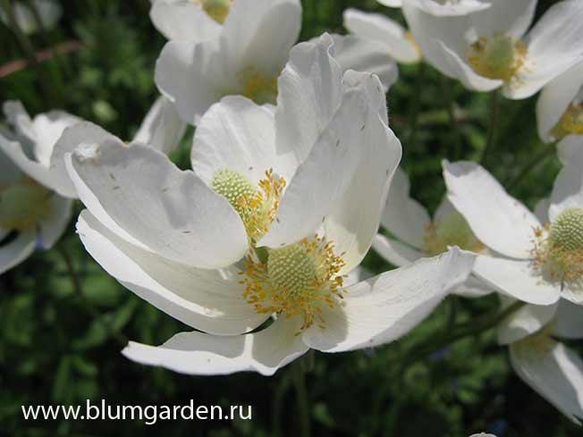 Анемона лесная, ветреница (Anemone sylvestris) © blumgarden.ru