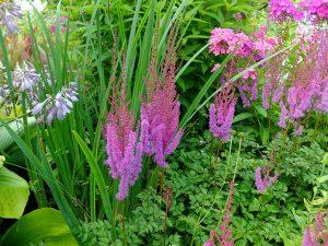 Астильба Пурпуркерце в ландафтном саду с ирисом болотным, хостой Сам энд Сабстэнс © blumgarden.ru