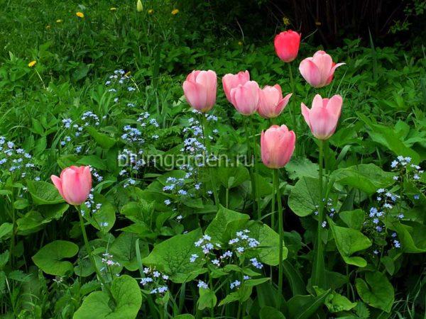 Бруннера сибирская и тюльпаны © blumgarden.ru