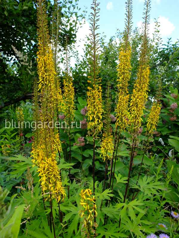 Бузульник Пржевальского (Ligularia przewalskii) © blumgarden.ru