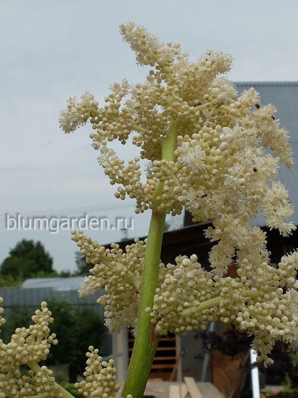 Астильбоидес цветение © blumgarden.ru