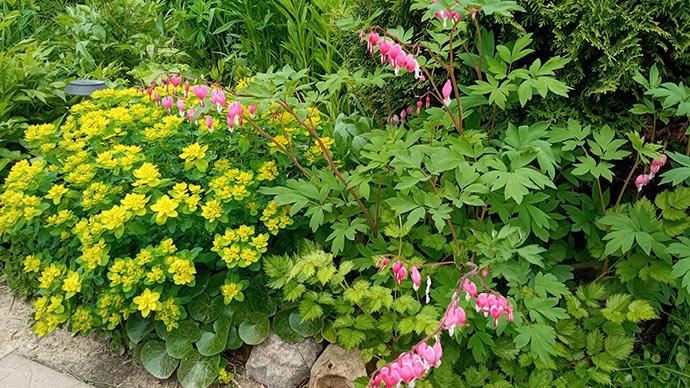 Дицентра розовая и молочай в ландшафтном саду © blumgarden.ru