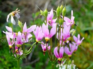 Додекатеон обыкновенный (Dodecatheon Meadia)