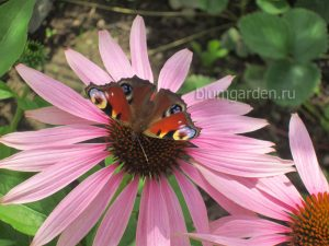 Эхинацея пурпурная и бабочка Павлиний глаз © Blumgarden.ru