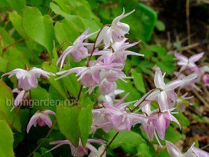 Горянка (Epimedium)