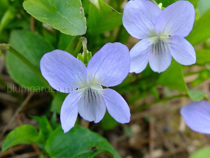Фиалка садовая (Viola) © Blumgarden.ru