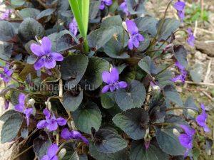Фиалка лабрадорская (Viola Labradorica)